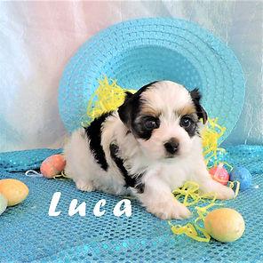Luca ~ M ~ Biewer Yorkie