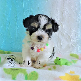Pippin ~ M ~ Morkie