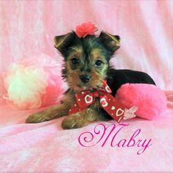 Mabry  ~ F ~ Yorkie