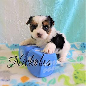 Nickolas ~ M ~ Biewer Yorkie