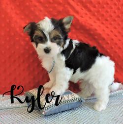 Kyler ~ M ~ Biewer Yorkie_edited