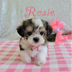 Rosie--2.jpg