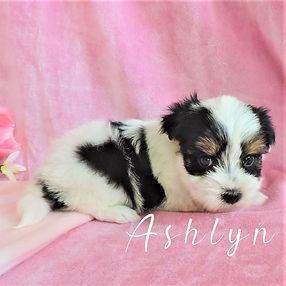 Ashlyn ~ F ~ Biewer Yorkie
