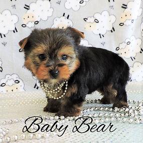 Baby Bear ~ M ~ Yorkie