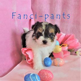 Fanci-pants ~ F ~ Biewer Yorkie