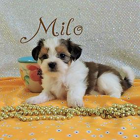 Milo-7.jpg-7.jpg