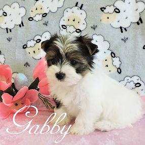 Gabby ~ F ~ Biewer Yorkie