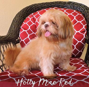 Holly Mae Red ~ Shih tzu