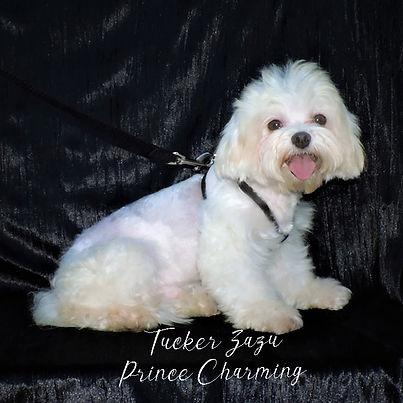 Tucker ~ Male Maltese