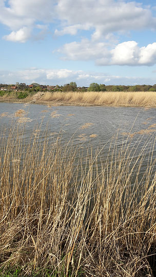 Reed beds and water flowing in the Waveney
