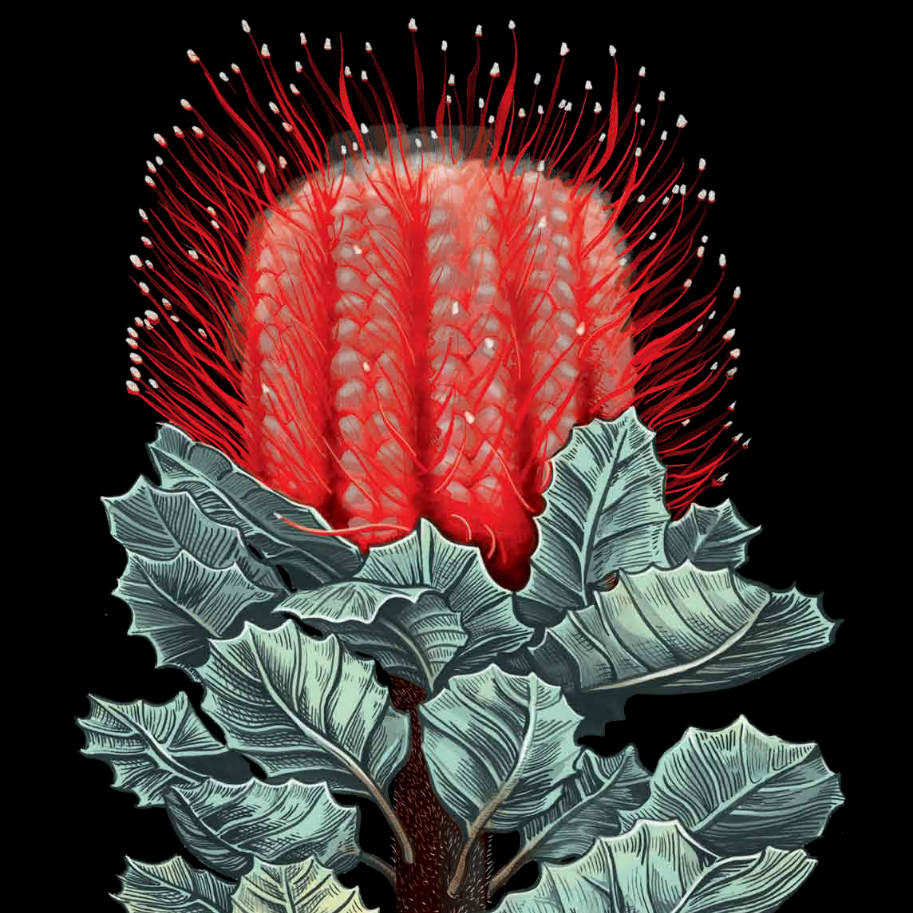 Daise banksia flower_edited