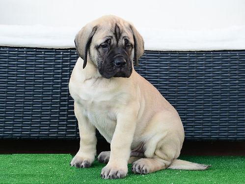 Milner's - American Bullmastiff puppies for sale Saskatchewan Canada