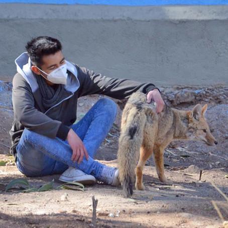 Del peligro al encierro: La historia del zorro Antonio