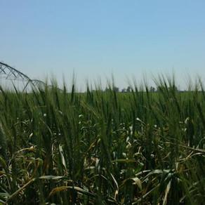 El trigo duda entre sumar 200 mil hectáreas o perder 300 mil, por las lluvias