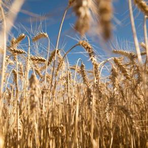 El trigo trae un aumento del 124% en el margen para la próxima campaña