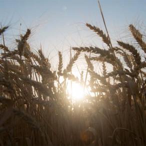 Para la Sociedad Rural, la producción de trigo crecerá 11,7% este año