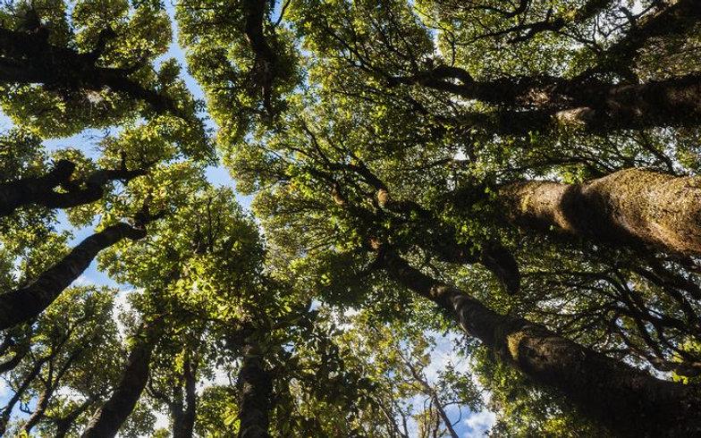 Kauri forest.jpg