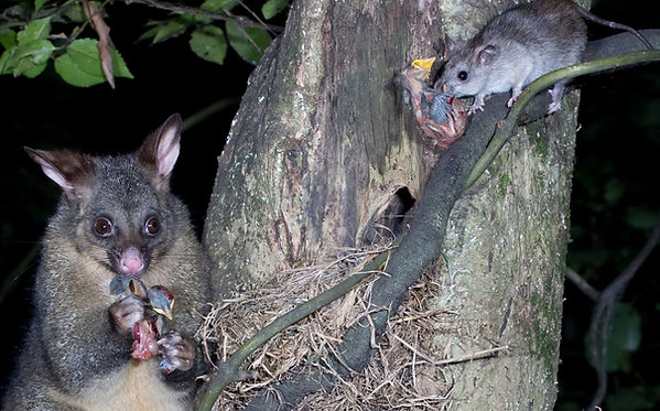 possums-and-rats-eat-birds-and-eggs.jpg