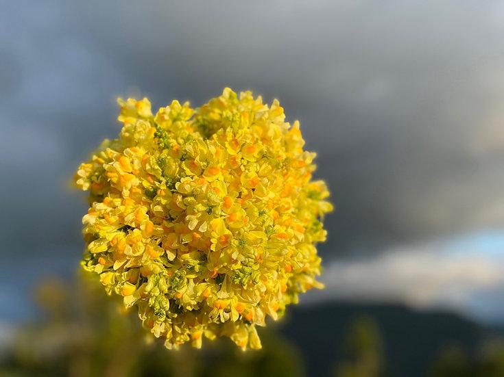 Linaria vulgaris, Toadflax