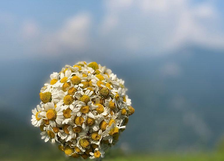 Matricaria chamomilla, Wild chamomile