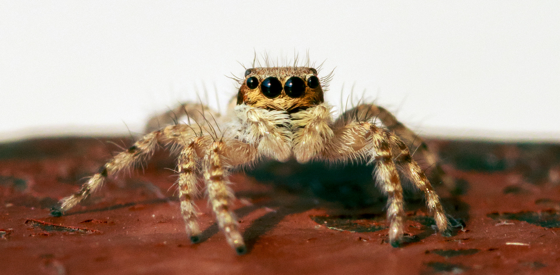 African Jumping Spider.jpg