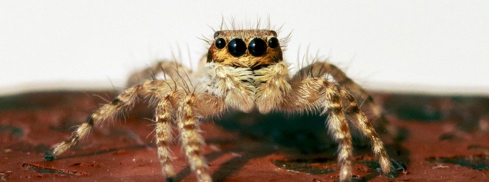 African Jumping Spider.jpg