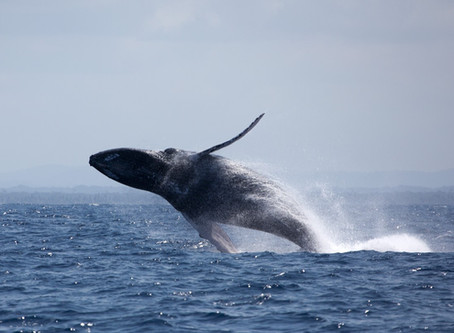 Itacaré na rota das Baleias Jubarte