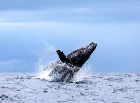 Reprodução das Baleias Jubarte começam e Itacaré é um dos melhores destinos pra avistá-las