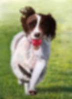 Painted picture of a Spaniel running