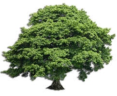 transparent-tree-sycamore.png