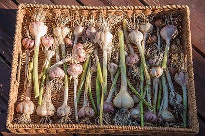 Garlic 2019.jpg