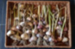 Victory Garden garlic.jpg