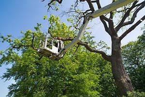 Gardener or tree surgeon pruning a tree