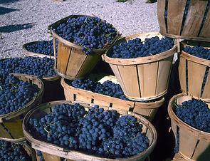 Blue wine grapes in wicker baskets after