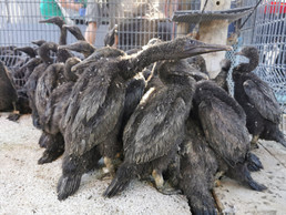 Mass joint rescue operation saves nearly 1 700 Cape cormorant chicks on Robben Island.