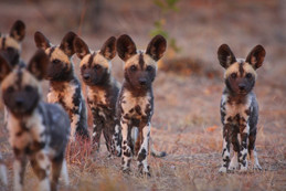 Unique conservation opportunity - Tintswalo Lapalala to help collar the Wild Dogs of the Waterberg.