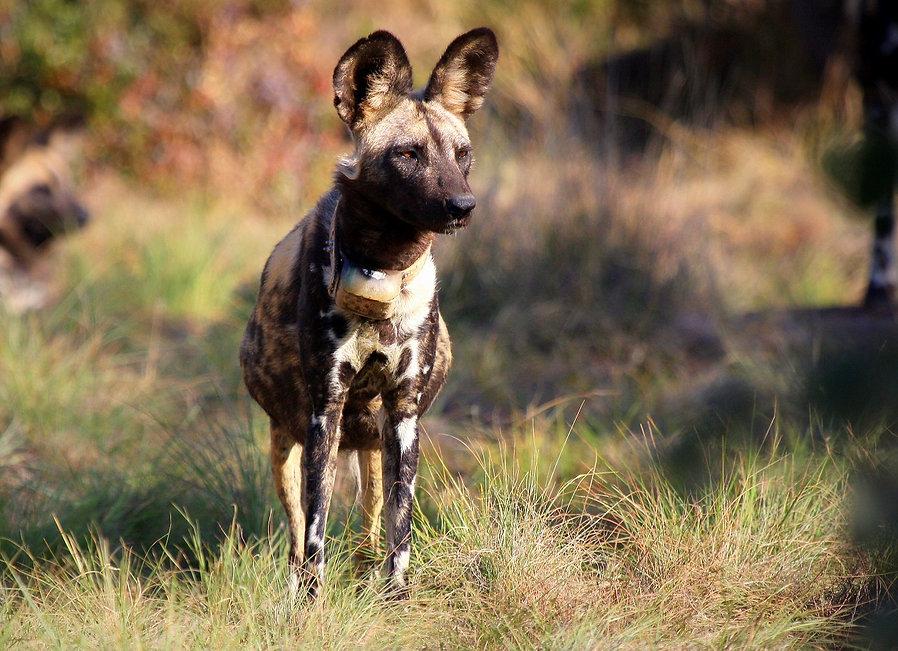 Tintswalo Lapalala Wild Dog pregnant fem