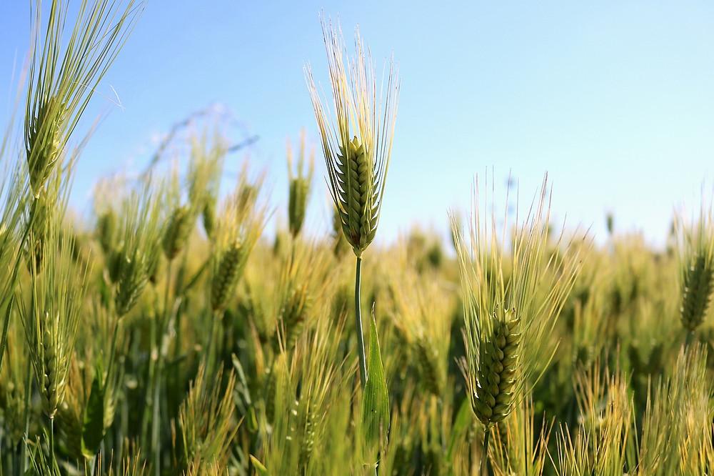 Při pěstování obilovin určených k výrobě pečiva a dalších potravin se navíc dodnes používá nebezpečný glyfosát.