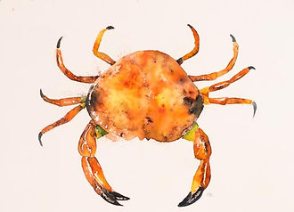 Watercolour painting of a crab