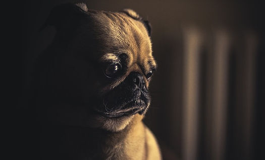mon chien pleure