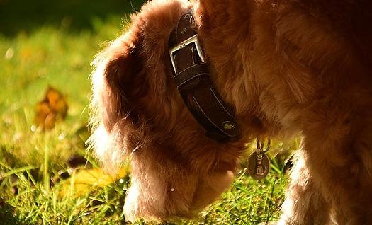 la coprophague chez le chien