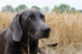 le danger des épillets chez le chien.jpg