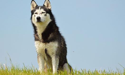tout savoir sur le Husky