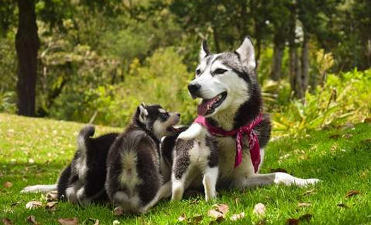 chienne husky avec ses petits.jpg
