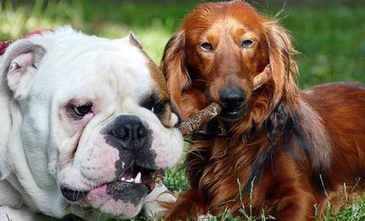 la toux du chenil chez le chien.jpg