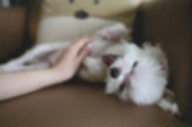 la grossesse nerveuse chez la chienne.jp