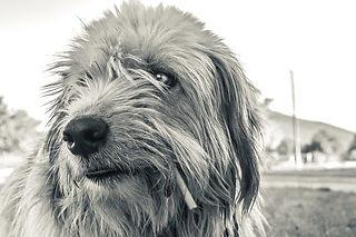 pellicules chez le chien