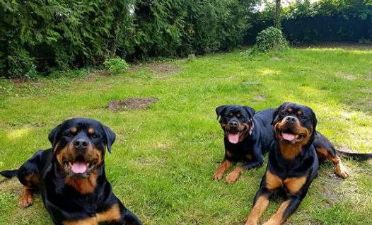 tout savoir sur le Rottweiler