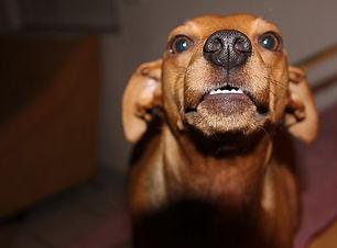 chien agressif castration