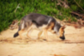 coprophagie chien